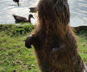 animal, nature, and biber image