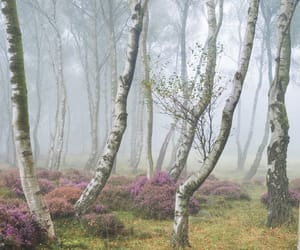 birch, fog, and heather image