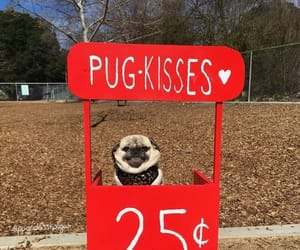 adorable, pugs, and dog lover image