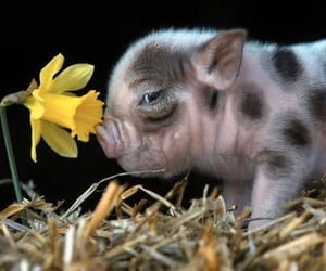 animal, pig, and flower image