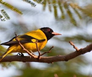 birds in india, birds in tathastu resorts, and black hooded oriole image
