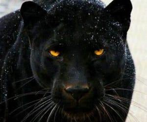 black, animal, and panther image