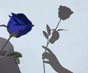flowers, rose, and shadow image