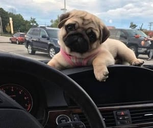 cuteness, pug, and puppy image