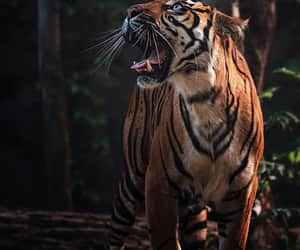 beaty, respect, and tiger image
