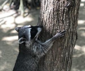 natural, raccoon, and tree image