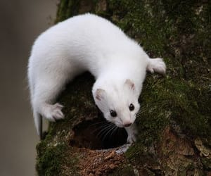 animals and weasel image