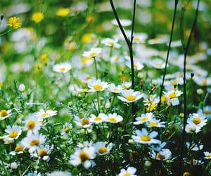 daisy, flowers, and beautiful image