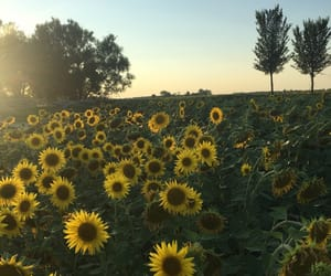 sunflower, field, and flowers image