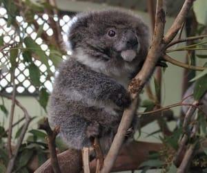 Koala, koala bear, and baby koala image