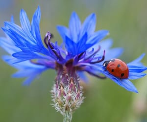 flowers, cornflower, and blue image
