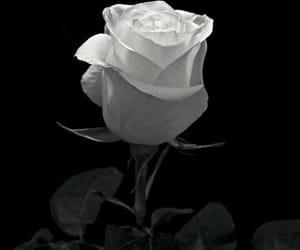 black, rose, and white image