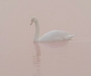 Swan, pink, and white image