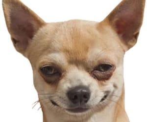 dog, funny, and chihuahua image