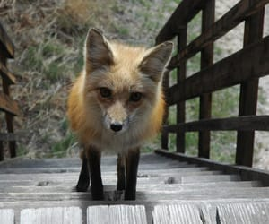 fox, animal, and stairs image