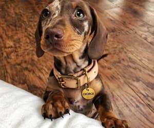 animals, dachshund, and dogs image