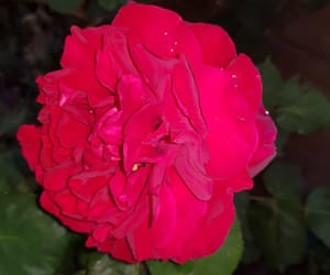 rose, rouge, and épine image