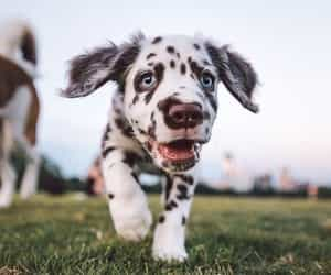 article, dalmatians, and dog image