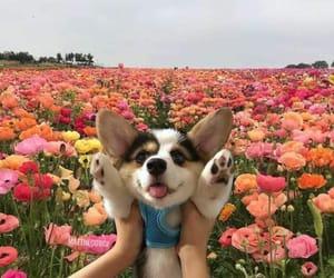 adorable, colorful, and corgi image