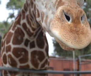 animals and giraffe image