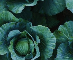 cabbage, field, and greens image