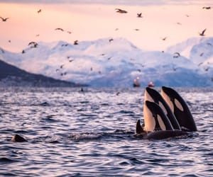 killer whale, mountains, and landscape image