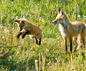 fox, pup, and nature image