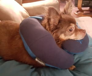 chihuahua, neck, and pillow image