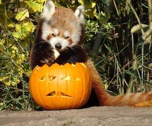 autumn, jackolantern, and Red panda image