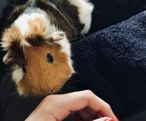 guinea pig, kisses, and nails image