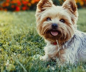 adorable, Terrier, and yorkie image