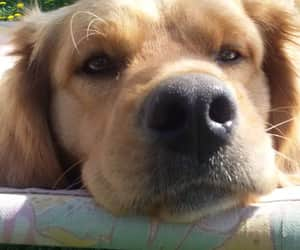 dog, dogs, and goldie image