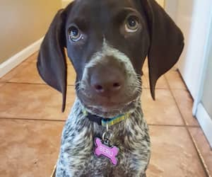 animals, pointer, and puppies image