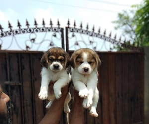 beagle, puppies, and online pet shop image