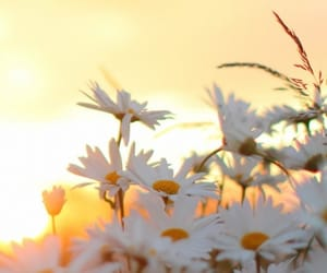 background, field, and flower image