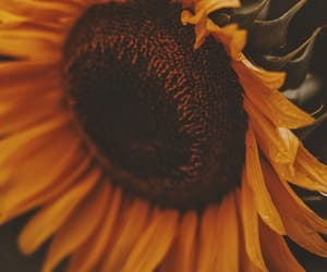 sunflower, flowers, and petals image