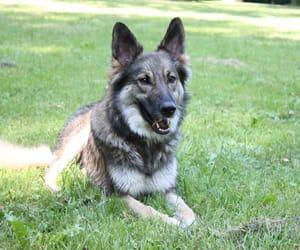 dog, italianshepherd, and hound image