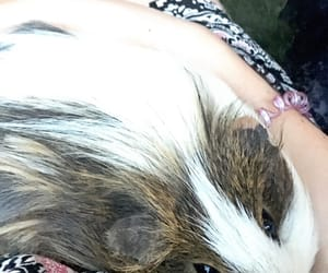 animals, guinea pig, and j image
