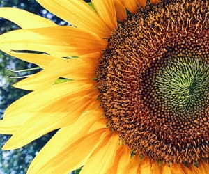 beautiful, florals, and sunflower image