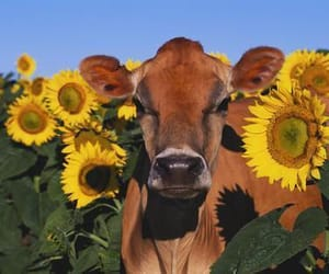 cow, flowers, and sunflower image