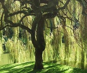 willow tree image