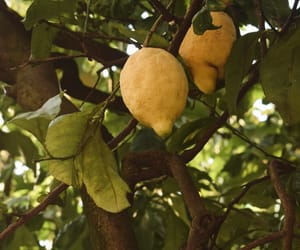 lemons and nature image