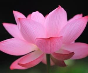 pink lotus flower image