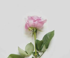 flower, ًورد, and ورده image