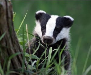 animals and badger image
