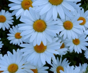 daisy, flowers, and nature photography image