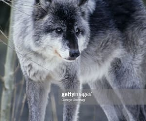 blue, grey, and wolf image