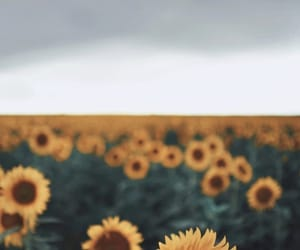 sunflower, wallpaper, and flowers image