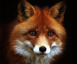 fox, beautiful, and wild image