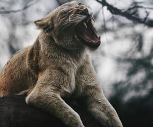 animal, lion, and wild image
